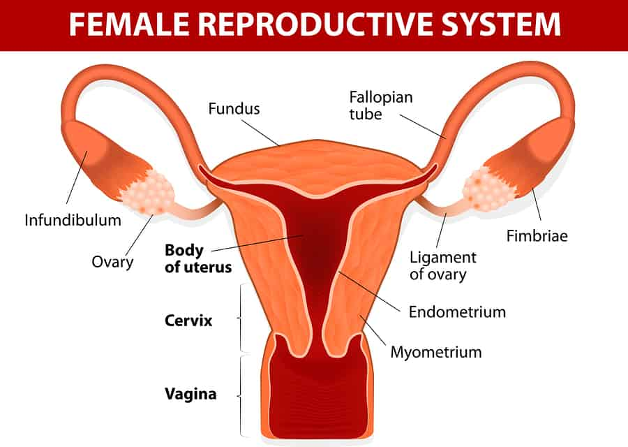 Female reproductive system including the uterus